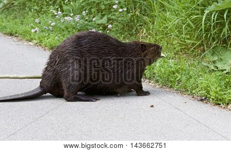 Beautiful picture with a North American beaver in front of the grass