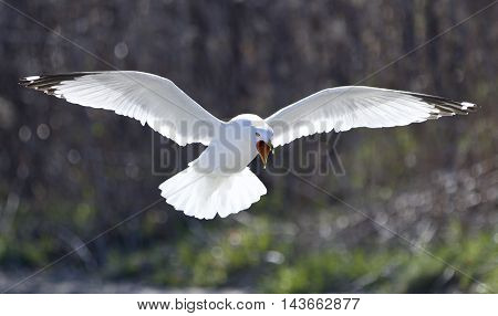 Funny isolated picture of a crazy gull screaming