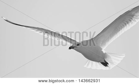 Beautiful black and white background with a flying gull