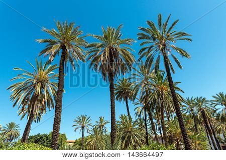 Beautiful palm tree forest in front of a blue sky