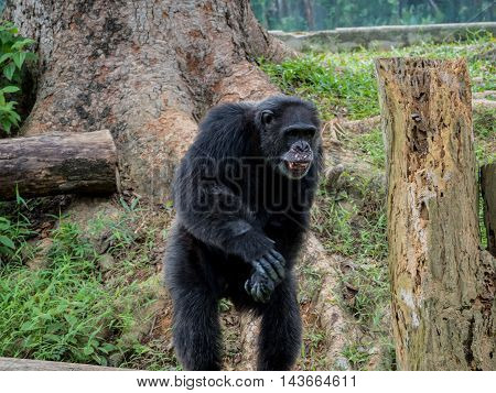 close up of a male chimpanzee asking abot food
