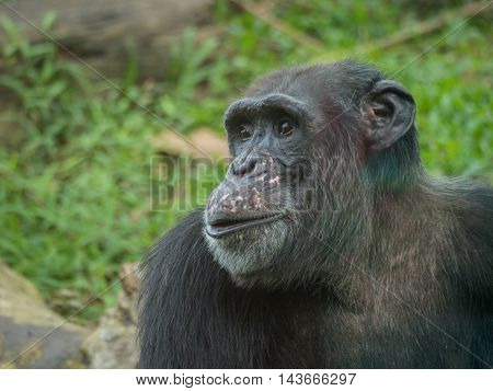 close up portrait of a male chimpanzee