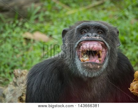 close up of a male chimpanzee eating durian and laughing