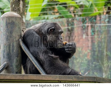 close up of a male chimpanzee eating bread