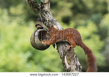 A squirrel plunders a birdfeeder in fall