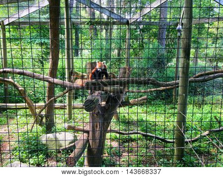 Red panda resting on a tree limb in a cage at a zoo
