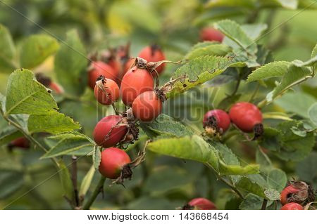 Branch with ripe red rose hips in  fall