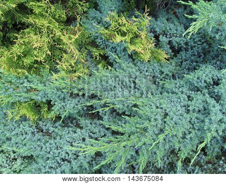 Close up of pine textute fresh and lush