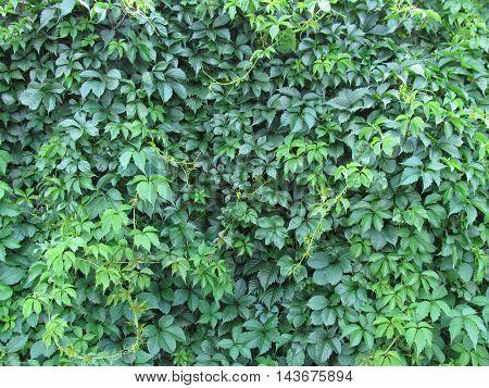 Green natural virginia creeper wall  textured background