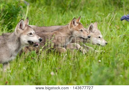 Three Grey Wolf (Canis lupus) Pups Run Right - captive animals