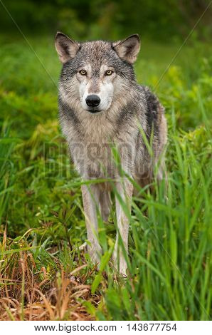 Grey Wolf (Canis lupus) Stands in Grass Looking Out - captive animal