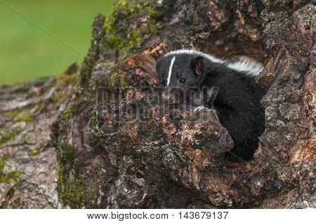 Striped Skunk (Mephitis mephitis) Looks Out of Log - captive animal