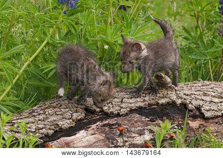 Two Red Fox (Vulpes vulpes) Kits Atop Log - captive animals