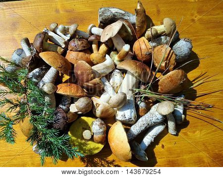 Still life with fresh edible forest mushrooms, pine needles and juniper sprig