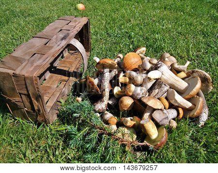 Forest gifts - fresh edible mushrooms: cap boletus, krasnogolovik, leccinum, lektsinum, boletus, xerocomus
