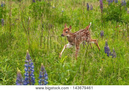White-Tailed Deer Fawn (Odocoileus virginianus) Runs Through The Grass - captive animal