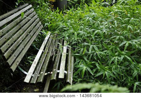 An old garden bench with broken slats next to wet long leaf japanese grass.