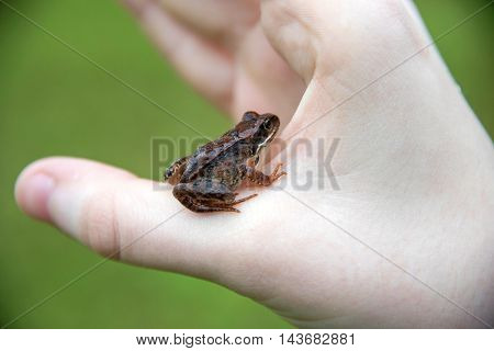 Brown tree frog sits on the hand