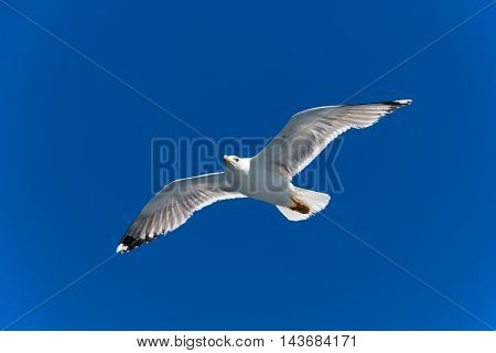 Seagull gliding under the clear blue sky