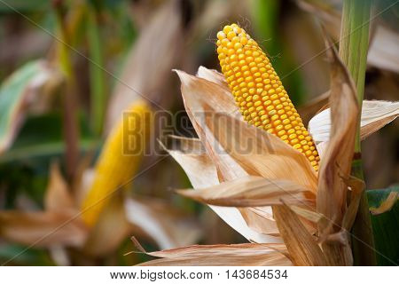 Two mature yellow cob of sweet corn on the field. Collect corn crop.