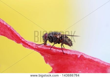 insect black fly crawling on a juicy red watermelon