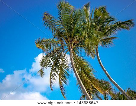 Bowing Palm trees against blue sky with white clouds. Concept Serenity.
