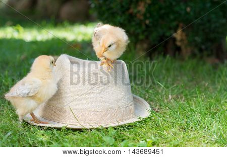 Baby Chickens On A Straw Hat
