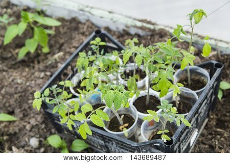 Young tomato seedlings in greenhouse in spring