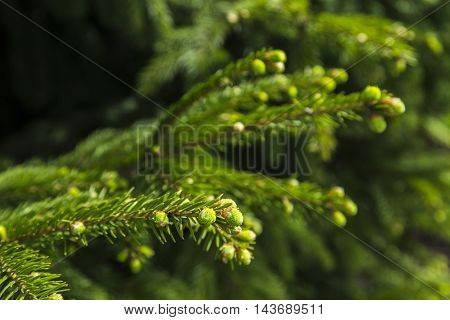 Young branches of spruce, natural background in forest