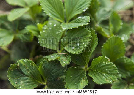 Strawberry leaves with drops of water in garden