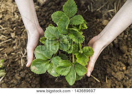 Woman hands holding strawberry in garden in spring