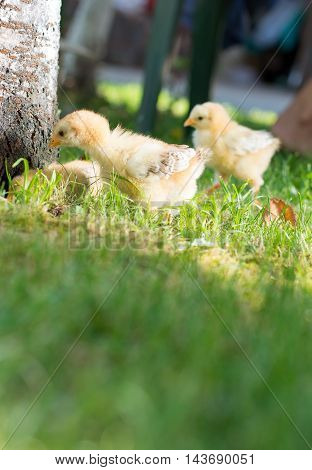 Baby Chickens Walking On Grass