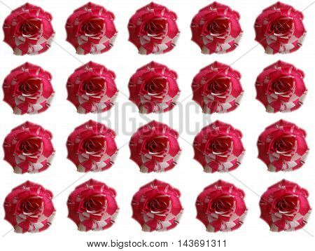 roses flowers background wallpaper bud red white nature garden petals color cultivation celebration gift event flora botany nature care season summer autumn hybrid