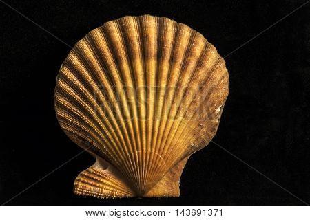 big colorful sea shells studio closeup black background