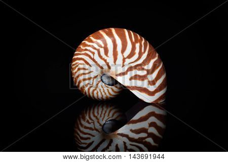 nautilus shell isolated on black background