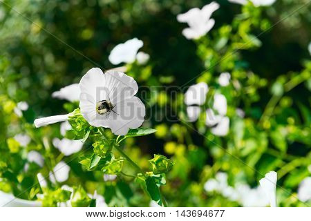 Bee collecting pollen and nectar for honey in flower white garden flowers Annual mallow Lavatera trimestris other name Rose Mallow Royal Mallow and Regal Mallow Lavatera.