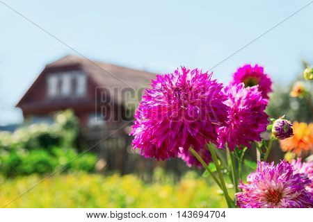 Rural landscape. Wooden house green trees grass foreground color pink purple chrysanthemums