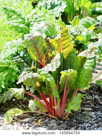 close up red Beetroot plants in garden