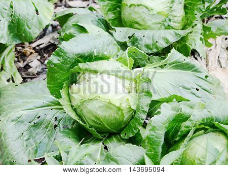 close up green cabbage in the farm