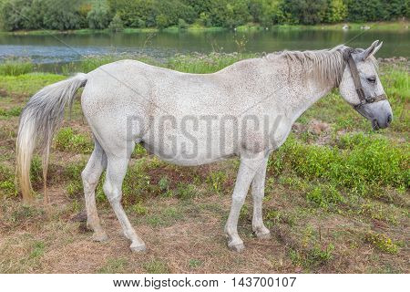 beautiful white horse grazing on the river shore