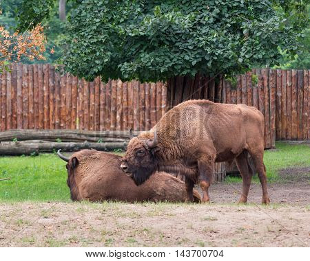 European Bison. Large male bison - wonderful big animals.