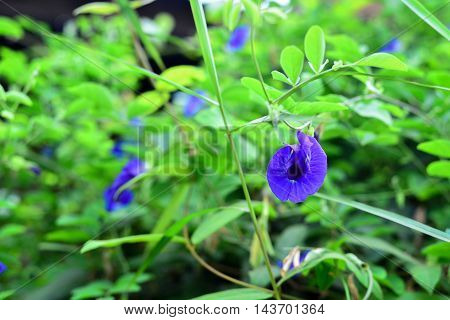 Pea Flower on the Ivy Plant Thailand