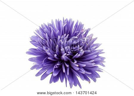 aster petals purple on a white background