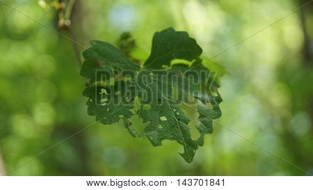 Leaf with holes from insects feeding on it.