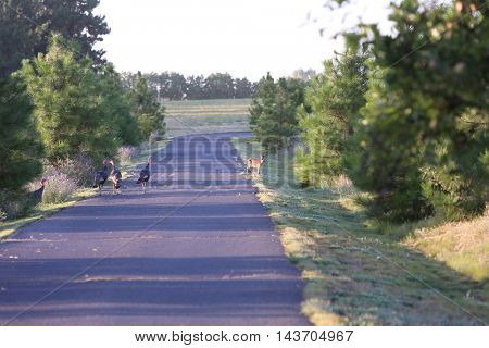 Wild Turkeys aka Meleagris gallopavo on a country road