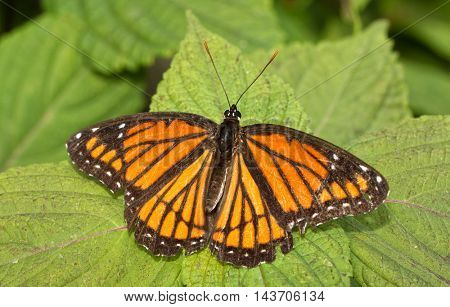 Viceroy butterfly resting on a Painted Nettle leaf