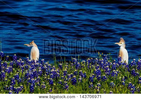 Egrets In Texas Bluebonnets At Lake Travis At Muleshoe Bend In Texas.