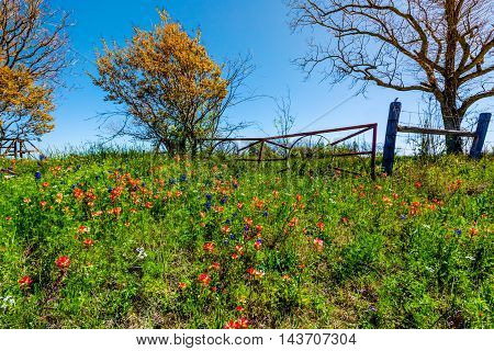 A Meadow at a Farm or Ranch with Iron Gate with Old Wagon Wheels Next to Various Fresh Texas Wildflowers in Spring Including Indian Paintbrush and Texas Bluebonnets.