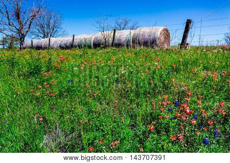 A Texas Roadside with Dry Round Hay Bales of Texas Grasses used to Feed Cattle on a Ranch Near Various Fresh Texas Wildflowers in Spring Including Indian Paintbrush and Texas Bluebonnets.