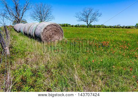 A Meadow on a Texas Ranch with Dry Round Hay Bales of Texas Grasses used to Feed Cattle Near Various Fresh Texas Wildflowers in Spring Including Indian Paintbrush and Texas Bluebonnets.